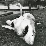 Dead Shark #2