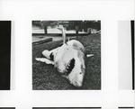 Shark that ate Basil