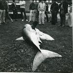Dead Great White Shark