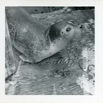 Seal Pup Jesse