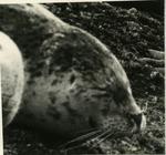 West Coast Seal 1.5