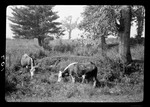 Animals- Fred's Cattle, 2 Walk In Pasture by George French