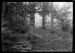 Forest Floor And Pines by George French