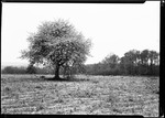 Apple Trees In Blossom by George French