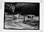 """Cows Near Old Pasture Fence. """"Cows At Bars"""" by George French"""