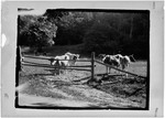 Cows Near Old Pasture Fence by George French