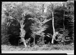 A Stand Of Yellow Birch. by George French