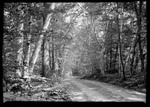 Birch Lined Road. by George French