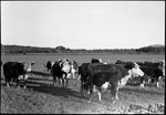 Fryeburg Cattle In A Field by George French