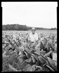 Man In Among Leaves (Tobacco?) In A Field In Deerfield, Massachusetts by George French