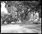 Large Elm Tree On Street In Kennebunk, The Lafayette Elm by George French