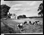 Cows In Field, Farmhouse Far Left In Hollis by George French