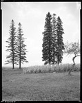 Five Tall Cedars On Edge Of Field In Presque Isle by George French