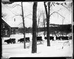Ten Oxen Pulling A Snow Roller Near The French Homestead In Parsonsfield by George French