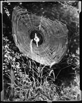 View Of Cobwebs On A Bush With A Spider In The Middle Of The Web by George French