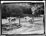 "At ""Bars"", Cows Behind Fence Of Small Yard by George French"