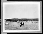Herd Of Cattle In Field In Damariscotta by George French