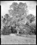 Birches Beside A Stream In Standish by George French