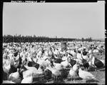 Barnyard Full Of Turkeys In Presque Isle by George French
