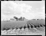 Potato Plants In Bloom, Farm Complex In Distance In Presque Isle by George French