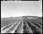 Potato Fields In Presque Isle by George French