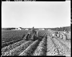Worker Digging Potatoes With A Tractor Others Harvesting And Filling Barrels by George French