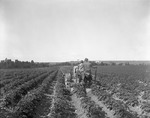Farmer Cultivating A Field Of Potatoes With A Tractor by George French