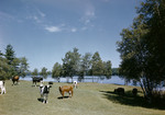 Cattle Standing In A Field In Bridgton, Pond In Background by George French