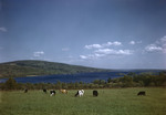 Cattle Grazing In A Field Overlooking Lake Megunticook Near Island Falls, Mountains Afar by George French