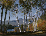 White Birches With Chocorua Mountain In Distance by George French
