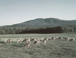 Cattle Grazing In A Field In Effingham, New Hampshire by George French