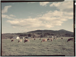 Cattle In A Field With Balkamp Mtn In Background In Gilford, New Hampshire by George French