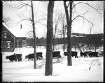 Eight Teams Of Oxen Breaking A Snow Covered Road by George French