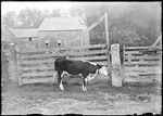Bull Standing In Front Of A Fence Gate, House And Barn In The Background by George French