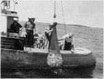 Purse Seiner Taking On Load Of Herring
