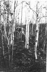 Birch Trees, Campsite? by David Field