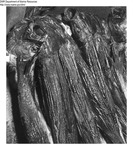 Smoked Herring by Maine Department of Marine Resources