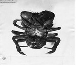 Red Crab Female with Eggs by Maine Department of Sea and Shore Fisheries