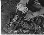 Jonah Crabs in Net by Maine Department of Sea and Shore Fisheries