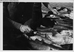 Making Initial Incision For Injection of Preservative by Maine Department of Sea and Shore Fisheries and Ward's Natural Science Establishment INC. Rochester 9, NY
