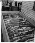 Dogfish in Preservative by Maine Department of Sea and Shore Fisheries and Ward's Natural Science Establishment INC. Rochester 9, NY