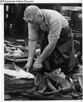 Processing Dogfish by Maine Department of Sea and Shore Fisheries and Ward's Natural Science Establishment INC. Rochester 9, NY