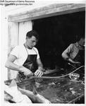Injecting Dogfish with Colored Latex by Maine Department of Sea and Shore Fisheries and Ward's Natural Science Establishment INC. Rochester 9, NY