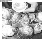 American Oysters (Aquaculture) by Department of Sea and Shores Fisheries