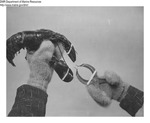 Attaching Bands to Lobster by Maine Department of Marine Resouces
