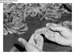 Shrimp Processing Instructions: 1.) Large Maine Shrimp by Maine Department of Marine Resouces