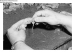 Shrimp Processing Instructions: 2.) Twist Shell by Maine Department of Marine Resouces