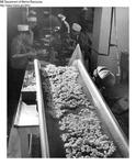 Shrimp Processing - Shelled Shrimp on Conveyor by Maine Department of Marine Resouces
