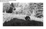 Bears by Maine Department of Inland Fisheries and Game