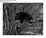 Bears by Maine Department of Inland Fisheries and Game and Tom Carbone